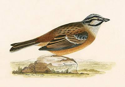 Meadow Bunting Print by English School