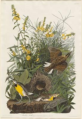 Meadow Drawing - Meadow Lark by John James Audubon