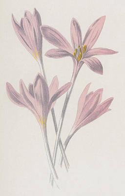 Soft Drawing - Meadow Saffron by Frederick Edward Hulme