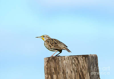 Meadowlark Photograph - Meadowlark Roost by Mike Dawson