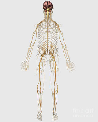 Peroneal Nerves Digital Art - Medical Illustration Of Peripheral by Stocktrek Images
