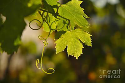 Mediterranean Grape Vine Print by Angelo DeVal