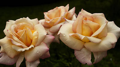 Photograph - Medley Of Three Yellow Roses by Barbara Middleton