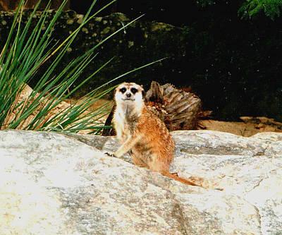 Photograph - Meerkat by Darren Stein
