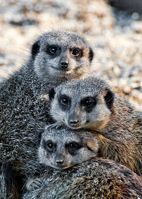 Meerkat Digital Art - Meerkat Family by Ginger Wakem