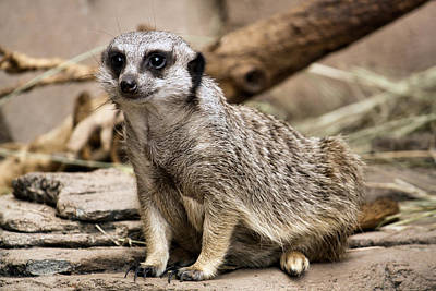 Outdoor Still Life Photograph - Meerkat by Karen M Scovill