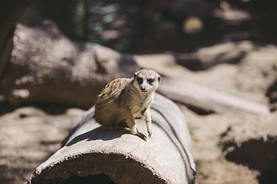 Meerkat Photograph - Meerkat by Nastasia Cook