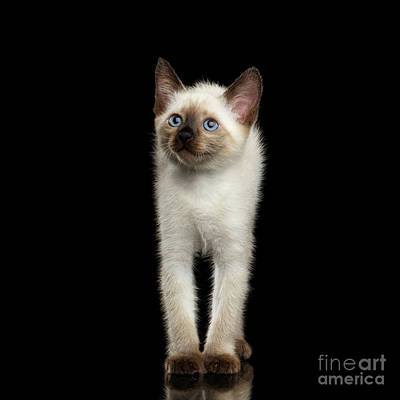 Mekong Bobtail Kitty With Blue Eyes On Isolated Black Background Print by Sergey Taran