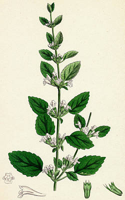Lemon Drawing - Melissa Officinalis Common Balm by Unknown