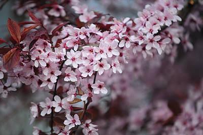 Memory Of Spring. Sakura Blossom Print by Jenny Rainbow
