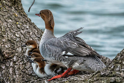 Drake Photograph - Merganser Family by Paul Freidlund