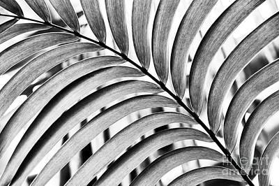 Mexican Horncone Leaf Monochrome  Print by Tim Gainey