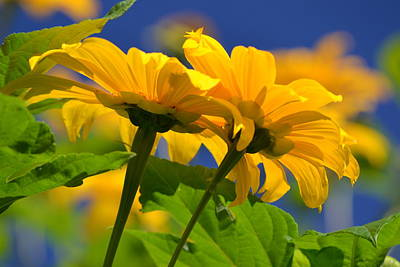 Mexican Sunflower Tree Print by Melanie Moraga