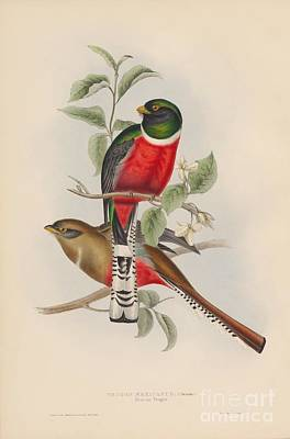 Eagle Painting - Mexican Trogon by Celestial Images