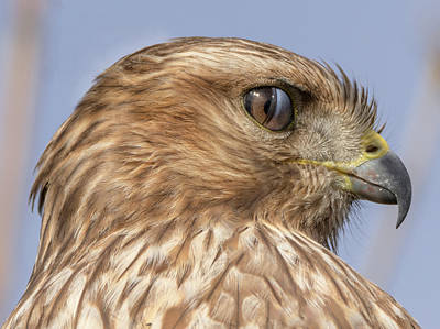 Hawk Photograph - Mid-blink by Loree Johnson