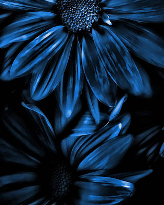 Midnight Blue Gerberas Print by Bonnie Bruno