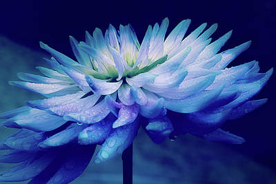 Midnight Dahlia And Drops Print by Julie Palencia