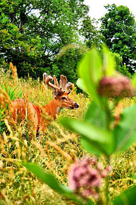 Bucks In Velvet Photograph - Milkweed Monster by Emily Stauring