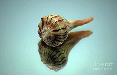 Lightning D Photograph - Mirrored Whelk by Patti Whitten