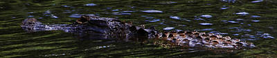 Aligator Photograph - Mississippi Gator by Gulf Island Photography and Images