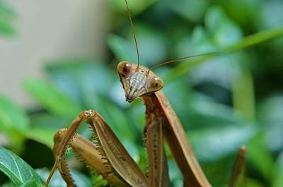 Bugs Photograph - Missy Mantas by Linda  Howes