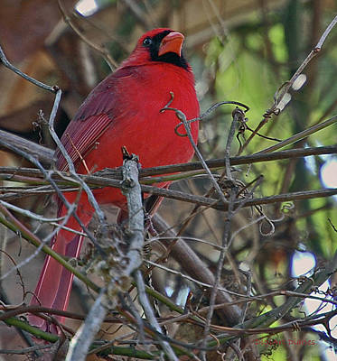 Mister Cardinal Print by DigiArt Diaries by Vicky B Fuller