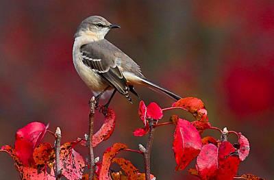 Burning Bush Photograph - Mockingbird On Red by William Jobes