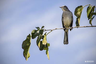 Mockingbird Digital Art - Mockingbird by Phil Mancuso