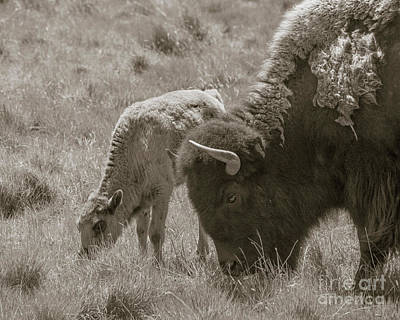 Mom And Baby Buffalo Print by Rebecca Margraf