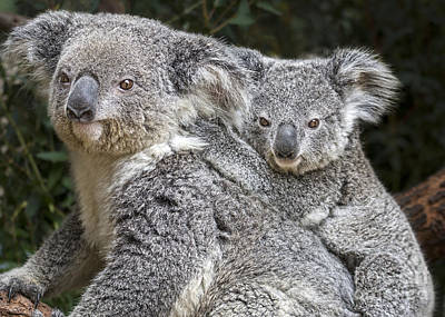 Koala Photograph - Mommy Hugs by Jamie Pham