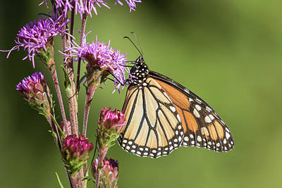 Photograph - Monarch 2016-2 by Thomas Young