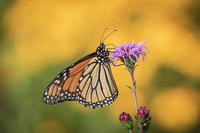 Photograph - Monarch 2016-3 by Thomas Young