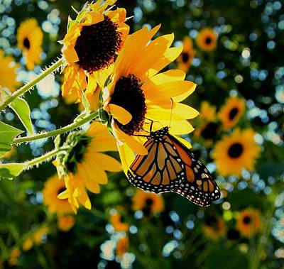 Monarch And Sunflowers Print by Chris Berry
