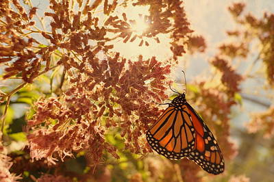 Monarch Beauty Print by Beth Collins
