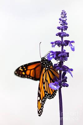 Flutter Photograph - Monarch Butterfly by Ana V  Ramirez
