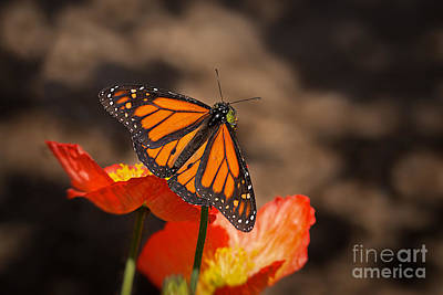 Garden Flowers Photograph - Monarch Butterfly And Poppies by Ana V  Ramirez
