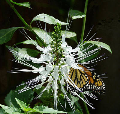 Photograph - Monarch Butterfly Feeding by Margaret Saheed