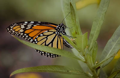 Monarch Desperation Print by DigiArt Diaries by Vicky B Fuller
