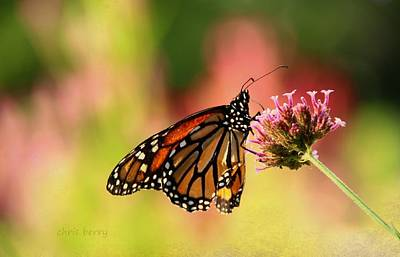 Monarch In Summer Print by Chris Berry