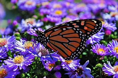 Butterfly Photograph - Monarch On Asters by Michiale Schneider