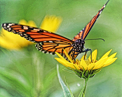 Butterfly In Motion Photograph - Monarch On Sunflower Dwc by Kevin Anderson