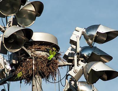 Monk Parakeet Nest Print by Norman Johnson