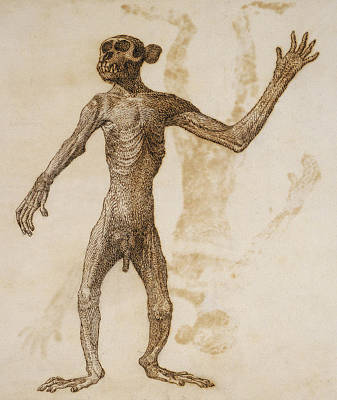 Chimpanzee Drawing - Monkey Standing, Anterior View by George Stubbs