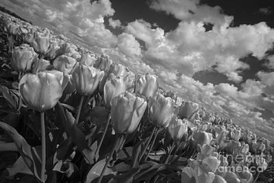 Tulpe Photograph - Mono Tulips  by Rob Hawkins