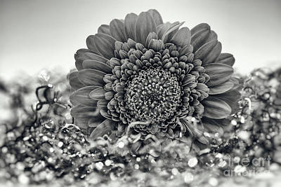 Monochrom Gerbera 0 Print by SK Pfphotography