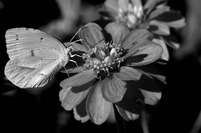Photograph - Monochrome Butterfly by David Weeks