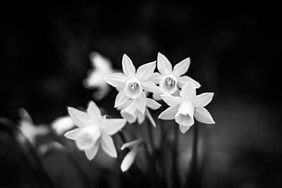 Blue Begonia Photograph - Monochrome Daffodils by Shelby Young