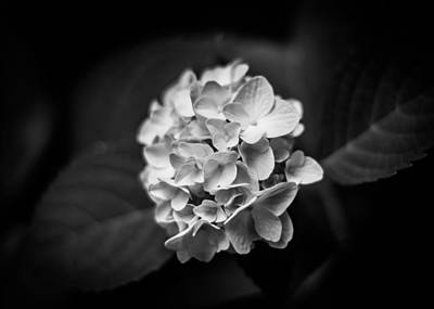 Monochrome Hydrangea Print by Shelby Young