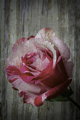 Gardening Photograph - Moody Pink Red Rose by Garry Gay