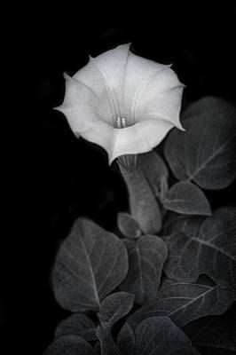Angels Trumpet Photograph - Moonflower - Black And White by Nikolyn McDonald